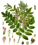 THE LICORICE PLANT